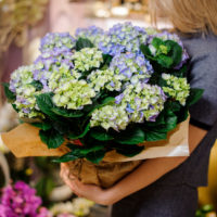 Girl holding in her hands a beautiful bouquet of blue hydrangea decorating with a beige paper